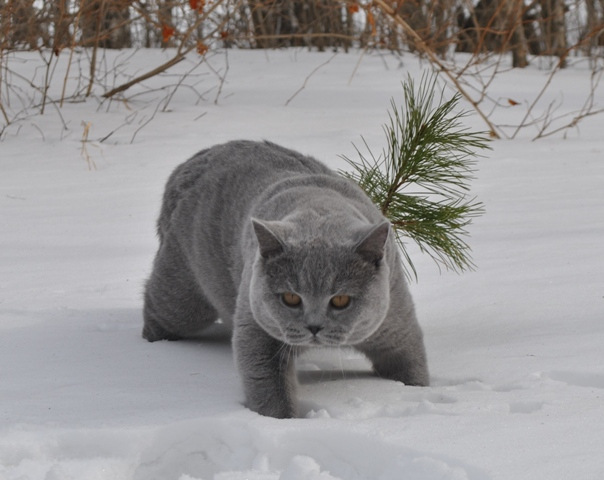 Британский котик с сосенкой