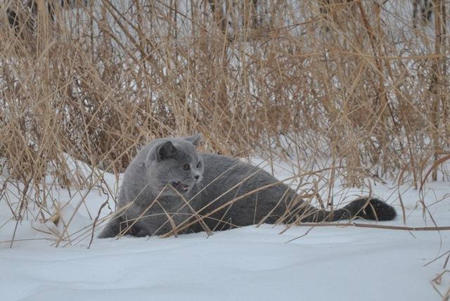 Британский котик на снегу2