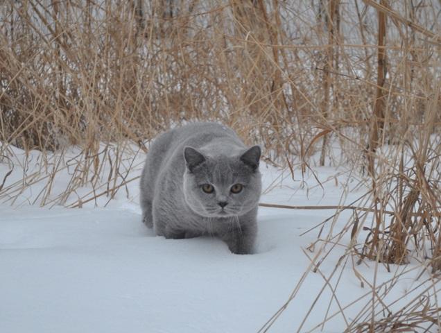Британский котик на снегу3