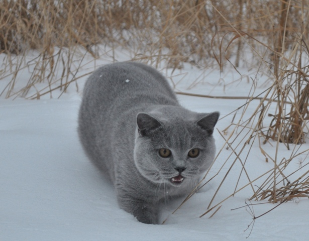 Британский котик на снегу4
