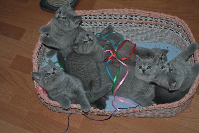 Британские котята-vse_t-mes2