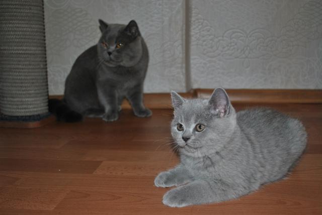 Британский котик_5939tark-s-zevsom