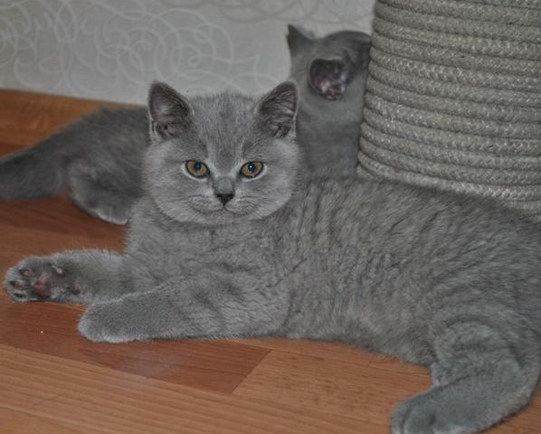 Британский котик_5966-tarkviniy