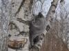 Британский котик на дереве