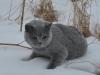 Британский котик на снегу1