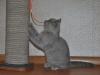 Британский котик 6121tark-profil