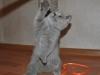 Британский котик_6209tarkviniy-stoit