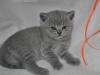 tarkvinii-5668 Британский котик