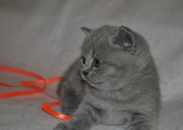 tarkvinii-5678 Британский котик