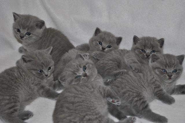 Британские котята_5724