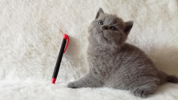 Ясон британский котик2