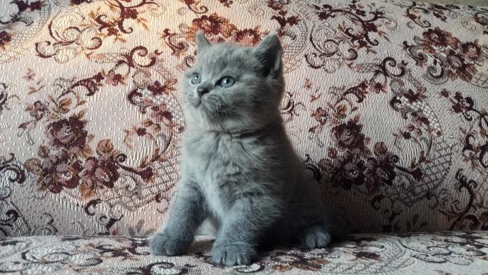 Ясон британский котик5