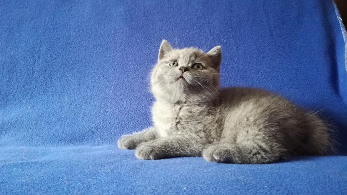 Ясон британский котик7