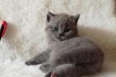 Ясон британский котик1