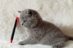 Ясон британский котик3