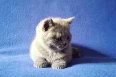 Ясон британский котик9