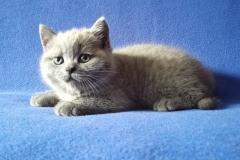 Ясон британский котик10