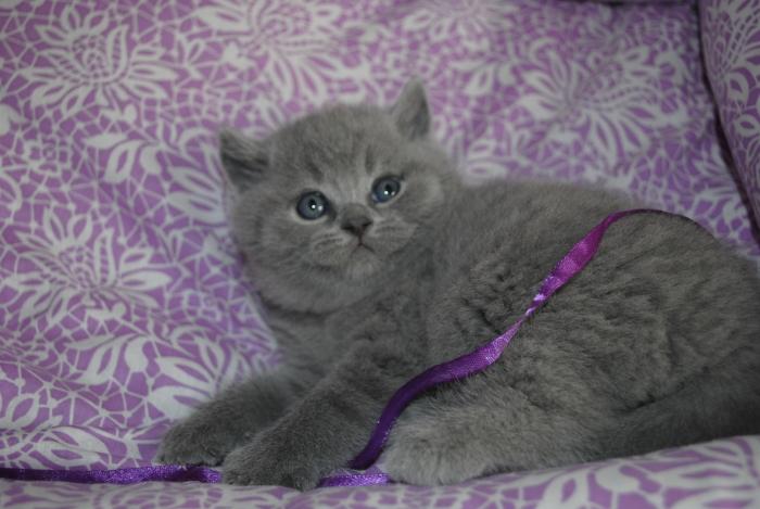 DSC_0652 британский котик