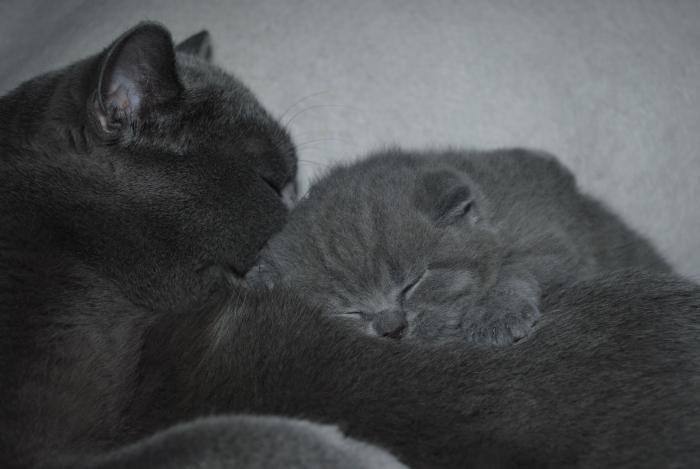 DSC_1289 британский котик