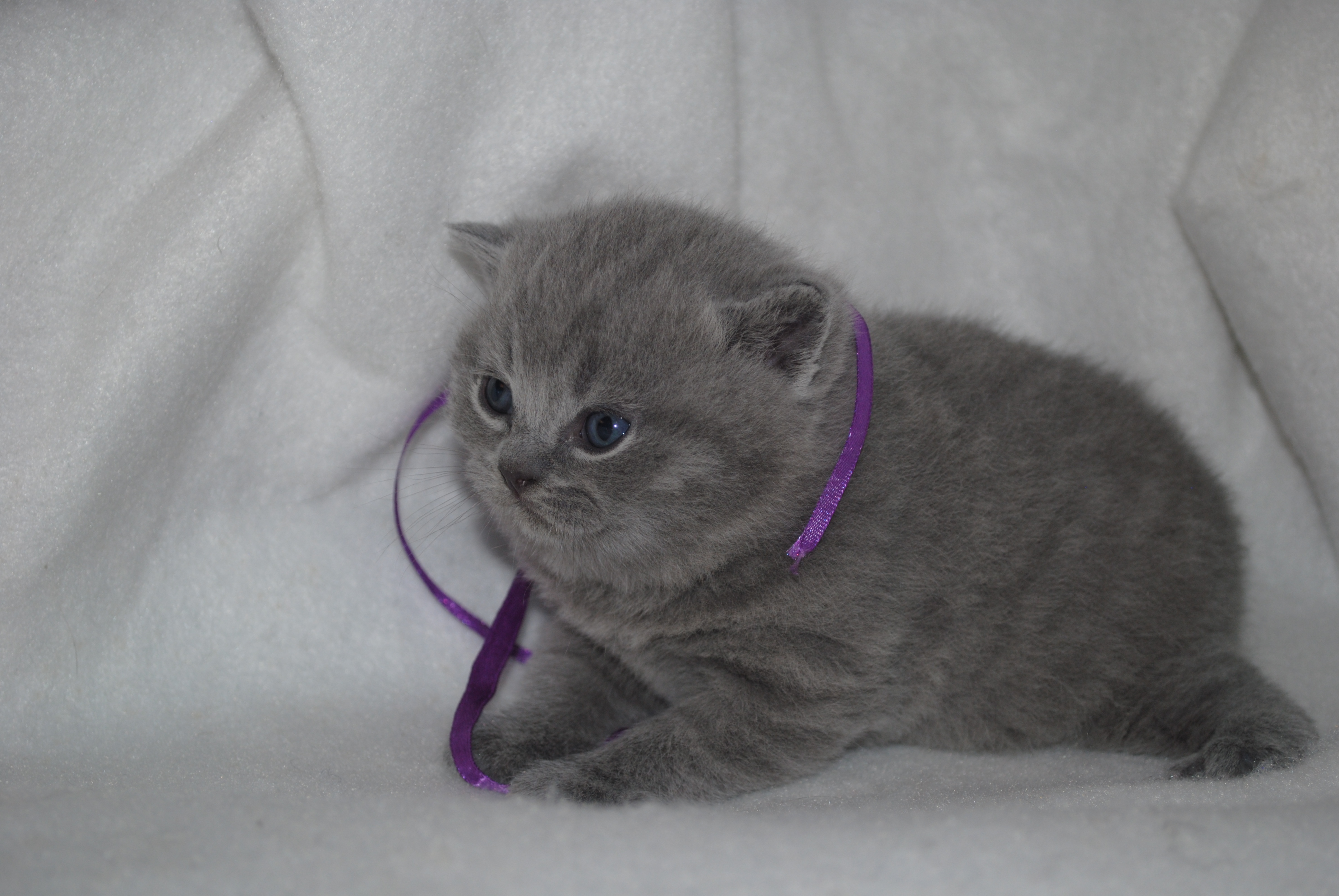DSC_1534 британский котик