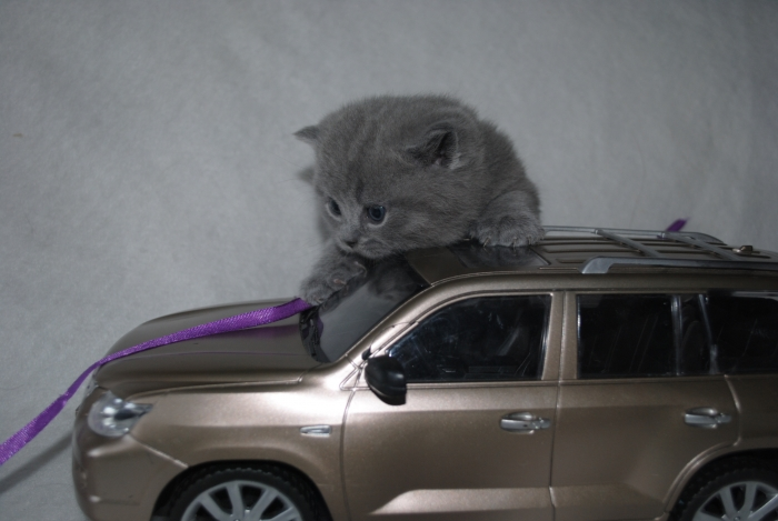 DSC_1557 британский котик