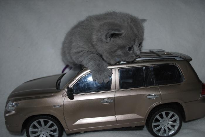 DSC_1574 британский котик