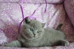 DSC_0630 британский котик