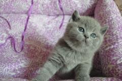 DSC_0636 британский котик