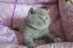 DSC_0642 британский котик