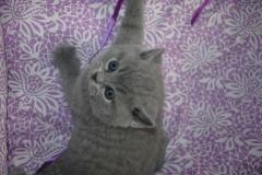 DSC_0645 британский котик