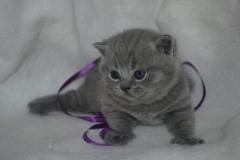DSC_1542 британский котик