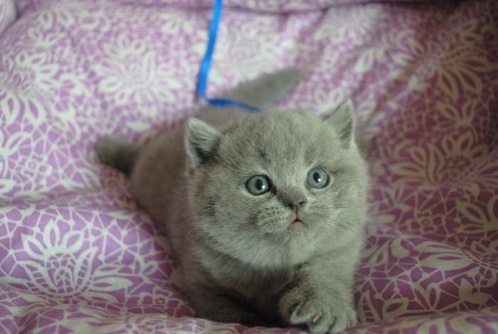 DSC_0680 британский котик
