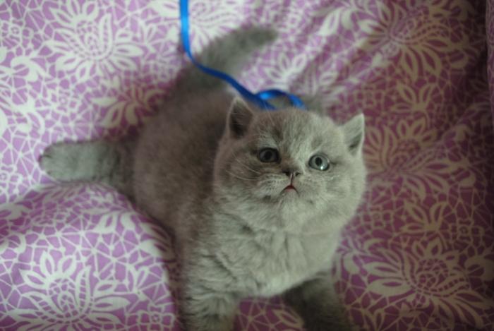 DSC_0685 британский котик