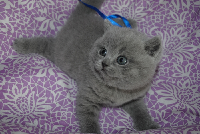 DSC_0686 британский котик