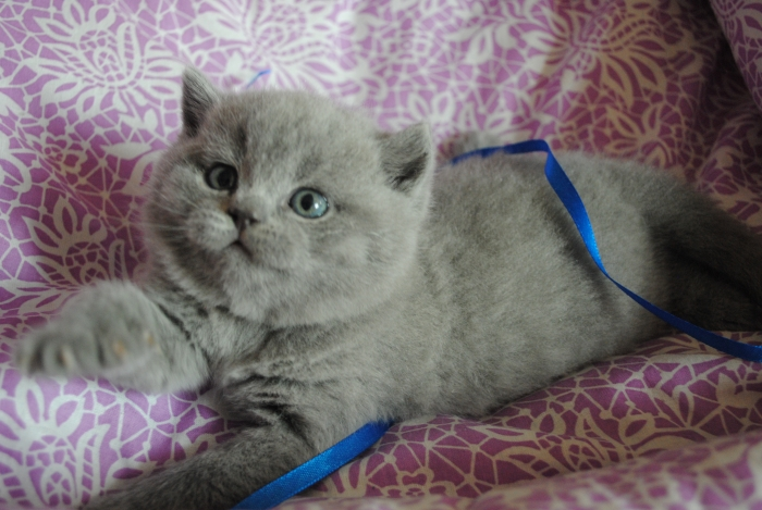 DSC_0699 британский котик
