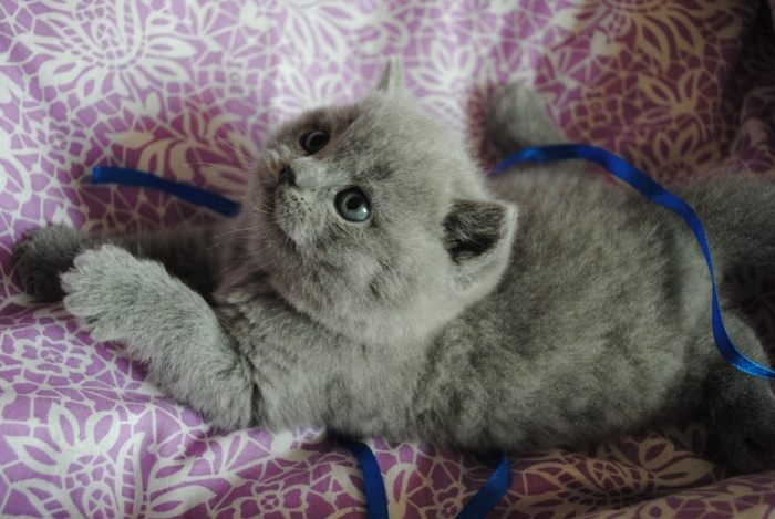 DSC_0702 британский котик