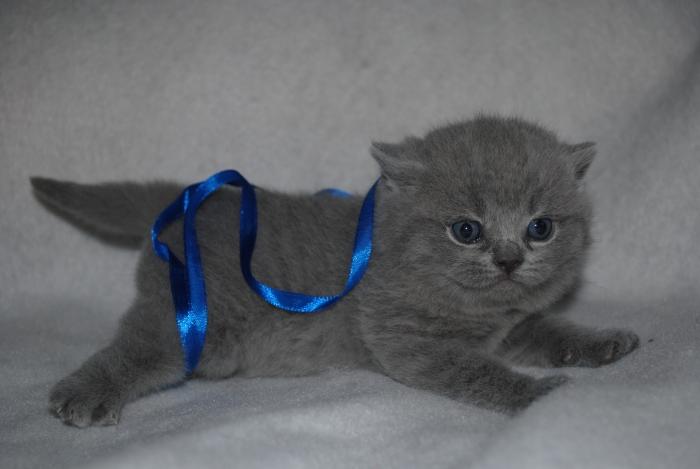 DSC_1322 британский котик