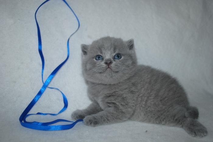 DSC_1610 британский котик