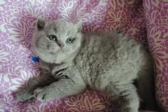 DSC_0708 британский котик