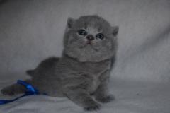 DSC_1305_ британский котик