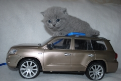 DSC_1622 британский котик