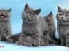 британские котята3