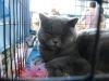 британская кошка Зимфира в клетке