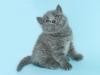 британская кошка Зея