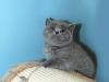 британская кошка Зея3