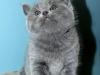 британская кошка Зея4