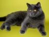 британская кошка Зея12