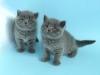 британская кошка Зея5