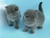 британская кошка Зея6