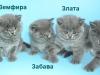 британские котята поименно